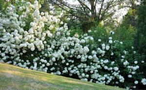 snowballs-in-bloom